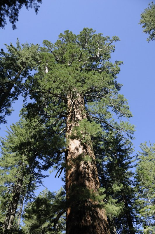 Giant Sequoia at Tuolumne Grove