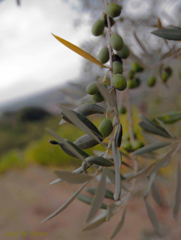 Olives not yet ripe