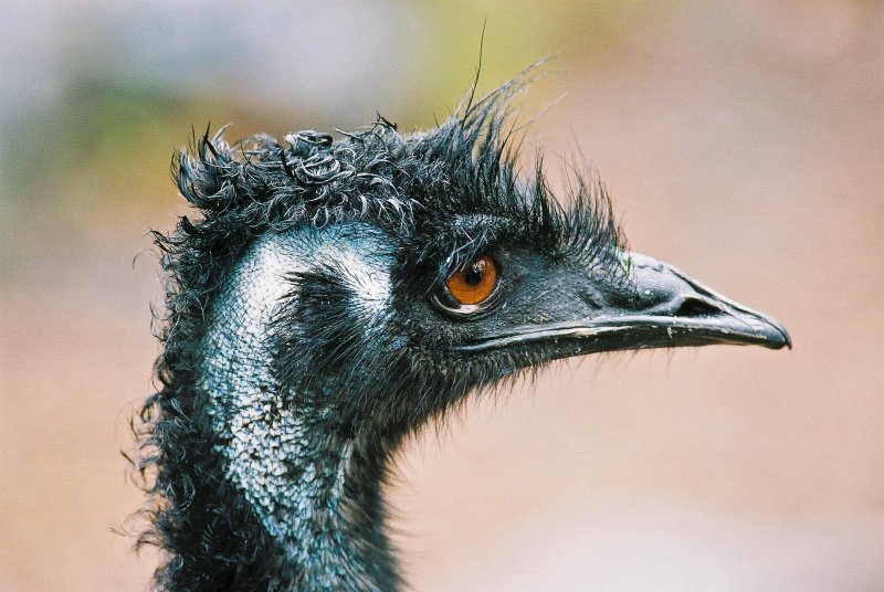 Emu after the Rain