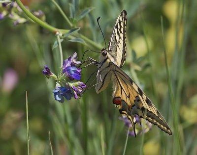Farfalle e Falene  (lepidotteri)
