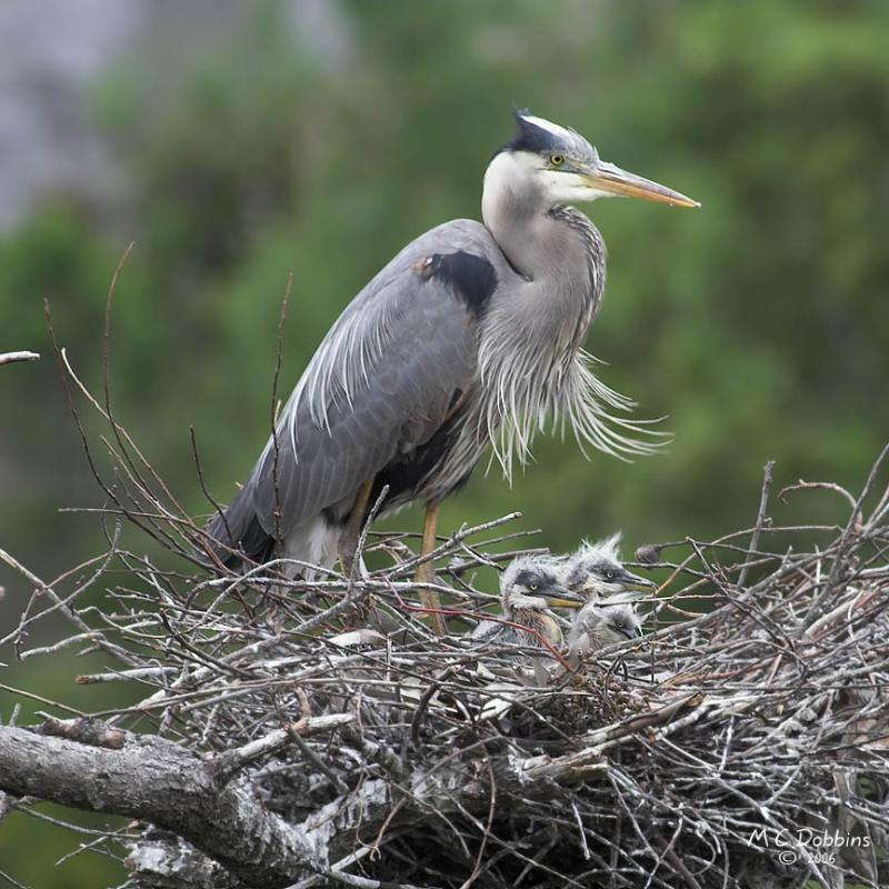 Three Chicks, Nest 2
