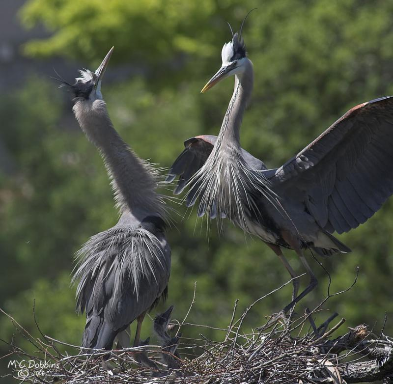 Parents share parenting.  Greeting dance when male returns to stay with chicks