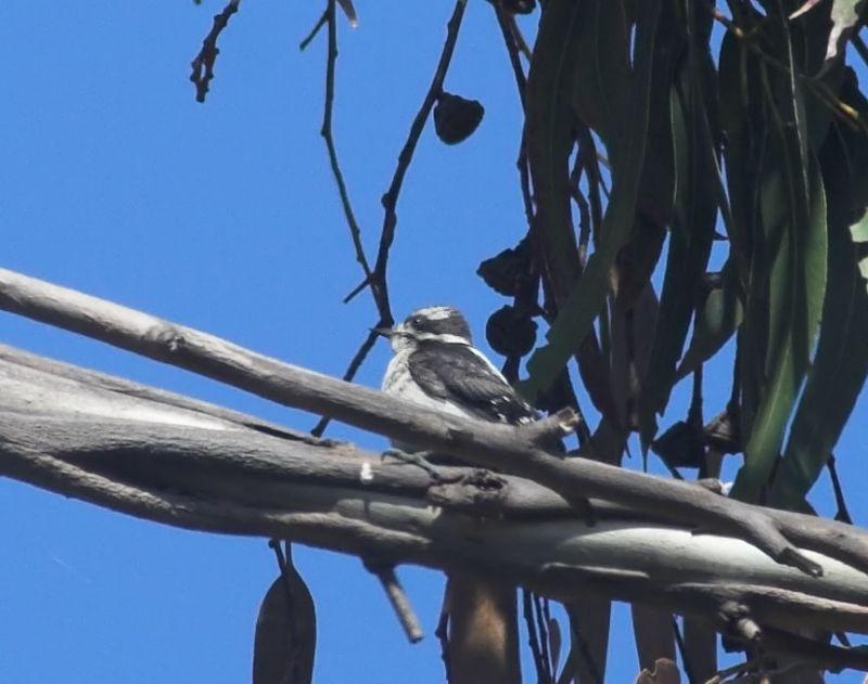 ?Juvenile Downy Woodpecker