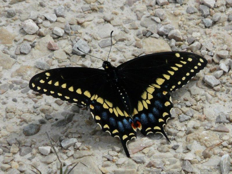 Black swallowtail  - Horicon Marsh, WI - May 15, 2010