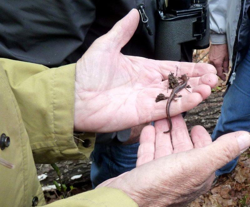 Salamander - near Washburn, WI - May 21, 2011
