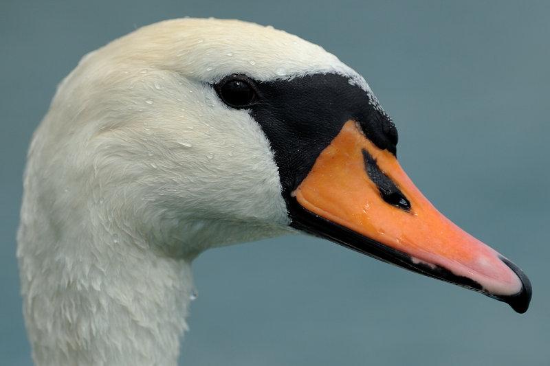D7H_2090-swan-a.jpg