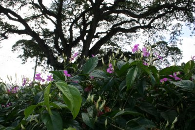 The No-Name Tree of Castries, St. Lucia