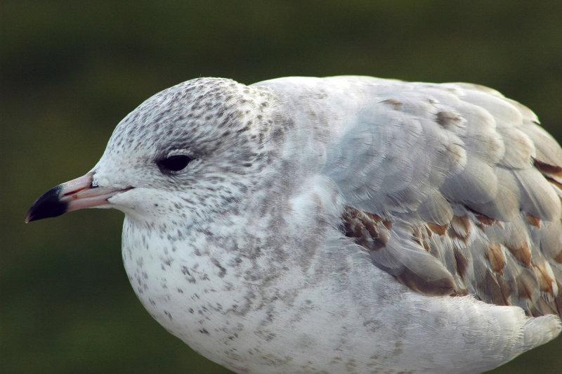 Michigan Gull