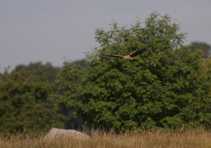 Ängshök  [Montagues Harrier] (IMG_2778)