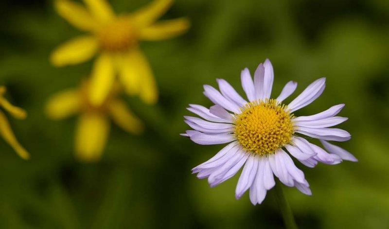 diverse daisy family rainer.jpg