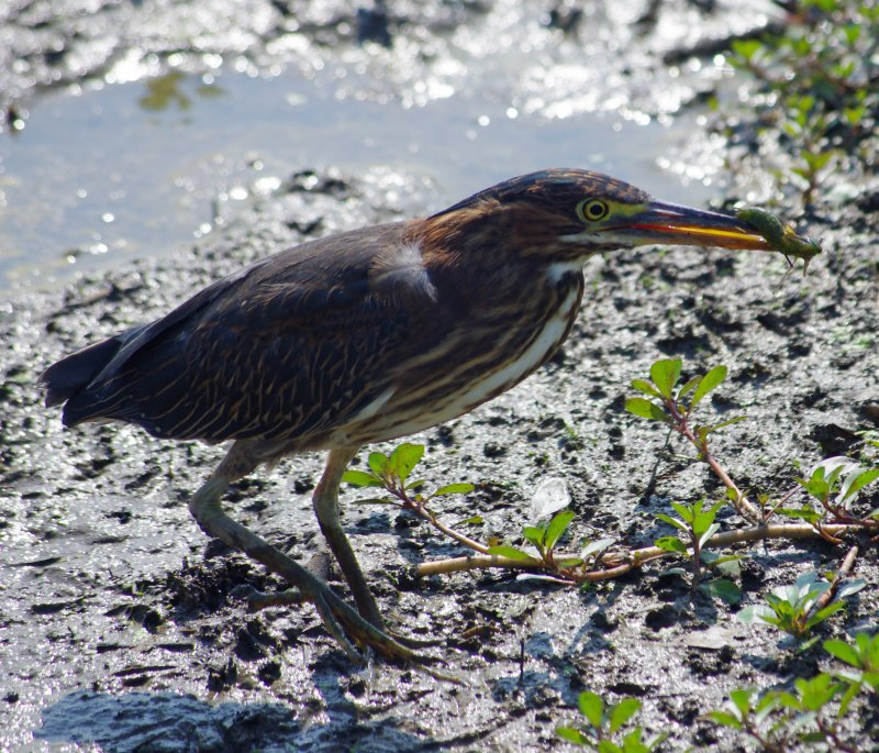 Green Heron, Huntley Meadows Park, VA