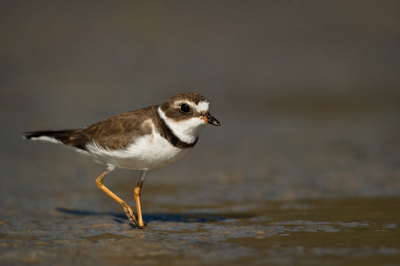 Pluvier semipalmé -- Semipalmated Plover