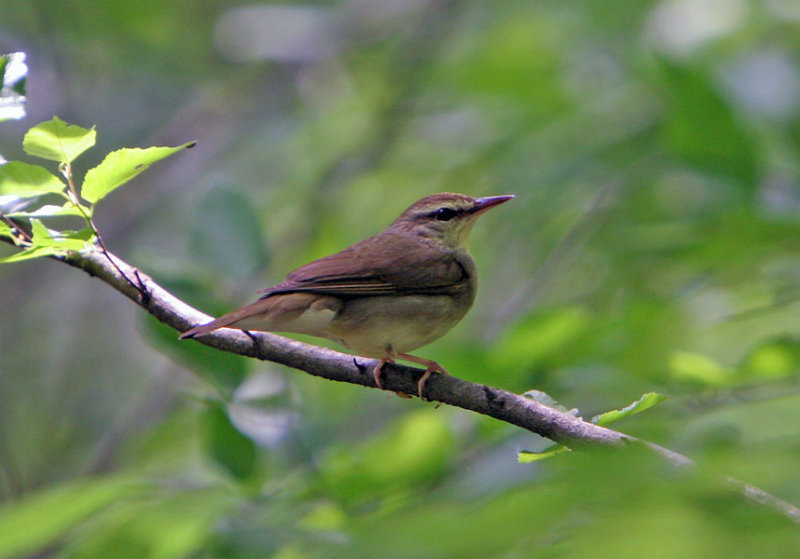 Swainsons Warbler
