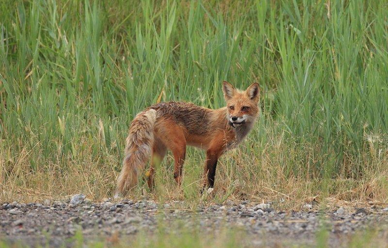red fox --  renard roux