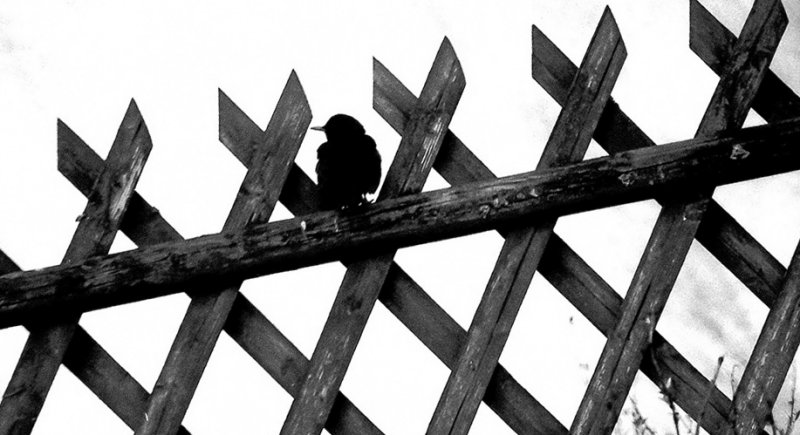 Black Bird on  Fence