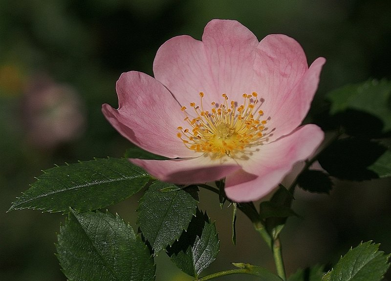 Wild Rose or Dog Rose
