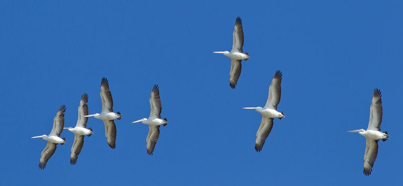 (not quite) Sequential Pelicans