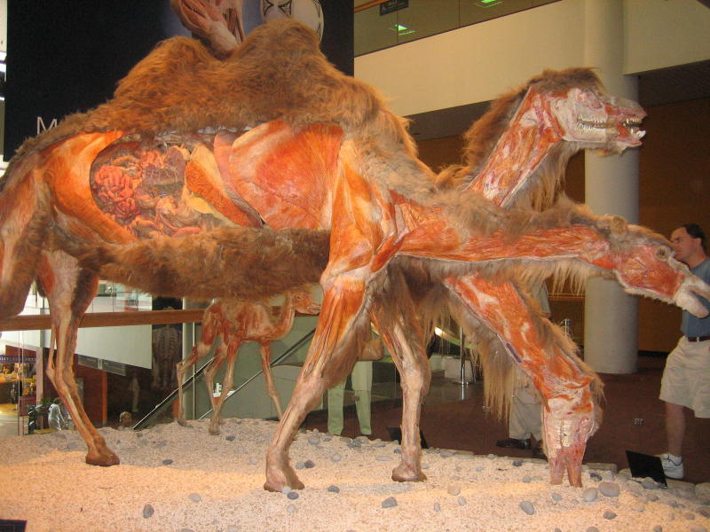 Body Worlds at the Denver Museum of Nature & Science
