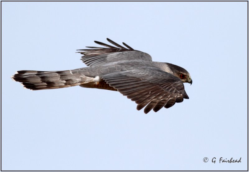 Coopers Hawk Flight/ Large Crop
