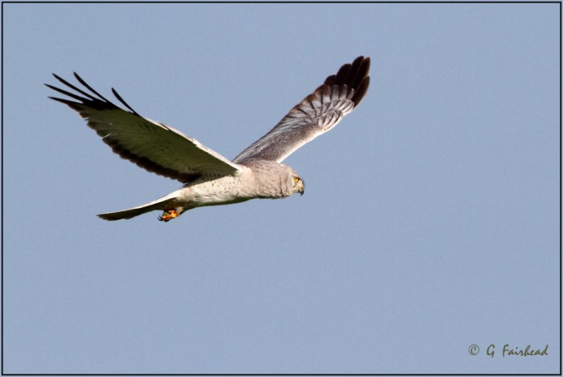 Mature Male Northern Harrier