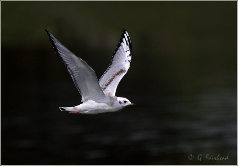 Bonapart Gull In Flight