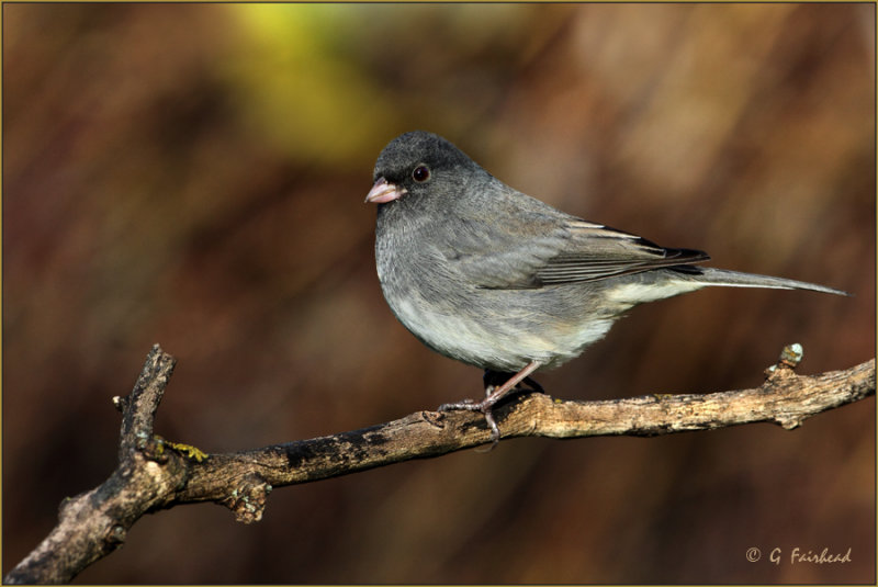 Slate Colored Junco Female