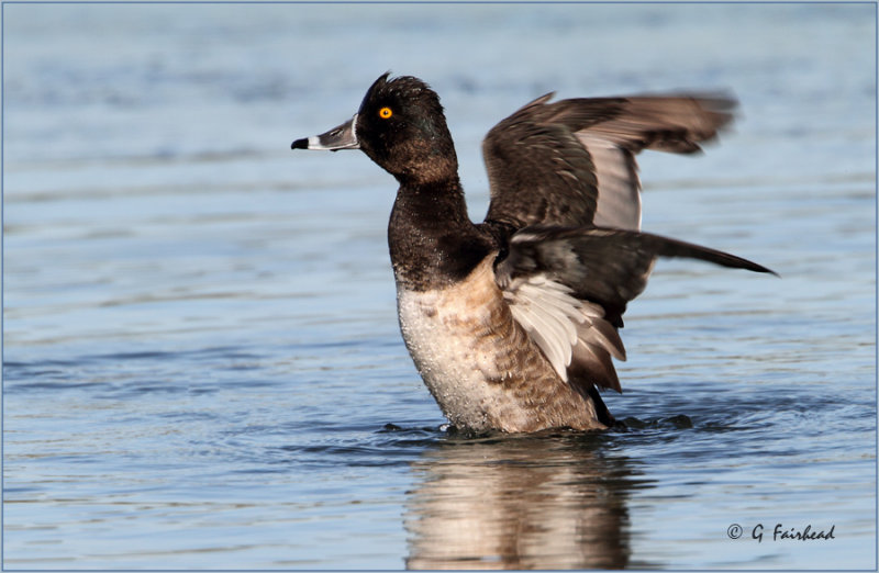 In A Flap / Ring-Necked Duck