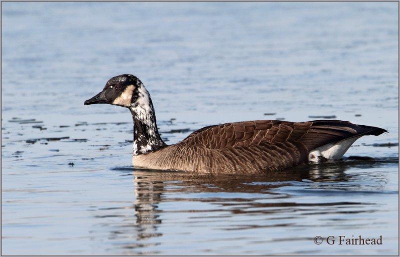Partially Leucistic Canada Goose