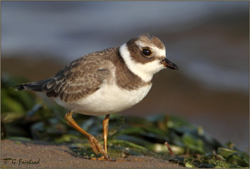 Down Low With A Semi Palmated Plover