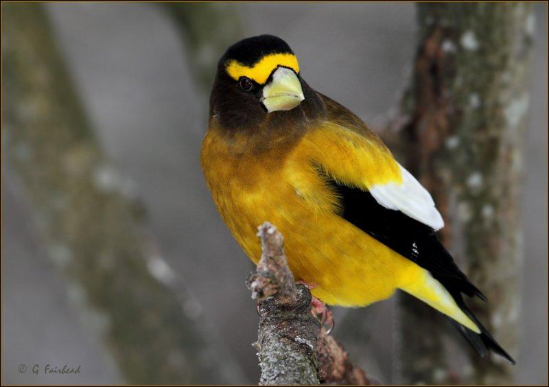 Yellow Jacket / Evening Grosbeak Male