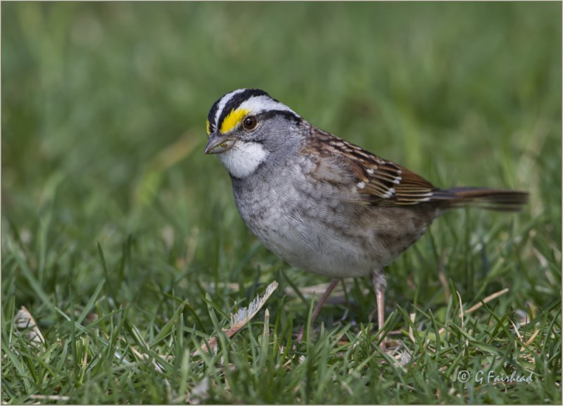 White Throated Sparrows Are Back