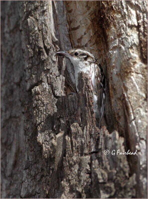 Brown Creeper Leaving Nesting Cavity