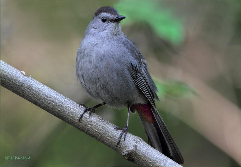 Full Frame+ Gray Catbird