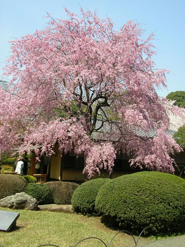 Japanese Tea House at Spring Time