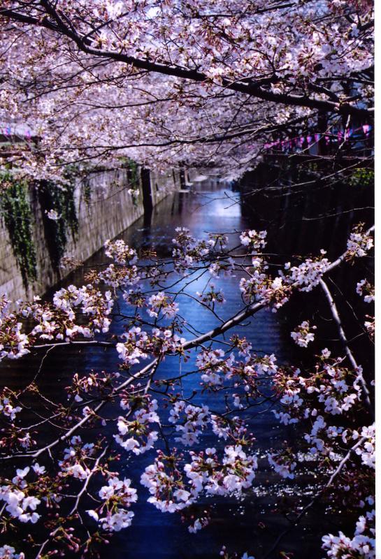 Hanami at Meguro River