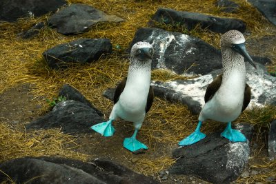 Courtship dance, Blue Footed Boobies, Punta Saurez, Espanola Island, The Galapagos, Ecuador, 2012