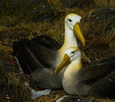 Family portrait, nesting Waved Albatrosses,  Punta Saurez, Espanola Island, The Galapagos, Ecuador, 2012