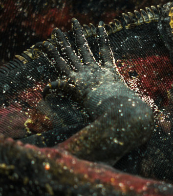 In touch, Marine Iguanas, Punta Saurez, Espanola Island, The Galapagos, Ecuador, 2012