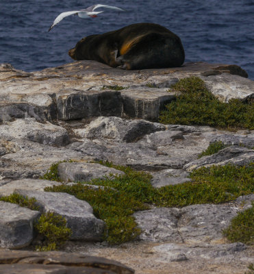At cliff's edge:  Swallow-tailed gull and Galapagos Sea Lion, South Plaza Island, The Galapagos, Ecuador, 2012