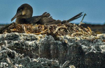 Nesting Flightless Cormorant, Punta Moreno, Isabela Island, The Galapagos, Ecuador, 2012