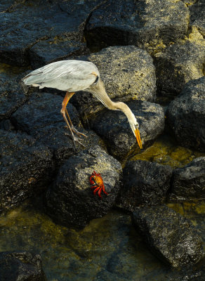 Great Blue Heron and Sally Lightfoot crab, Puerto Ayora Harbor, Santa Cruz Island, The Galapagos, Ecuador, 2012