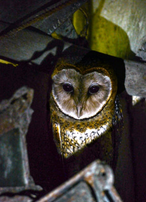 Barn Owl, El Chato. Santa Cruz Island. The Galapagos. Ecuador, 2012