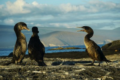 Mating debate, Flightless Cormorants at Punta Espinosa, Fernandina Island, The Galapagos, Ecuador, 2012