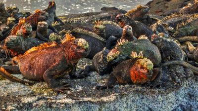 Marine Iguanas, Punta Espinosa, Fernandina Island, The Galapagos, Ecuador, 2012