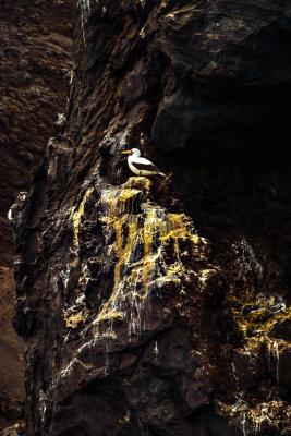 Nazca Booby, Vincente Roca, Isabela Island, The Galapagos, Ecuador, 2012