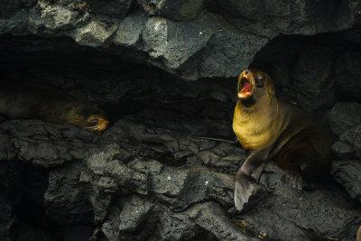 Fur seals, Puerto Egas, Santiago Island, The Galapagos, Ecuador, 2012
