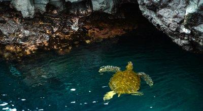 Sea turtle, Puerto Egas, Santiago Island, The Galapagos, Ecuador, 2012