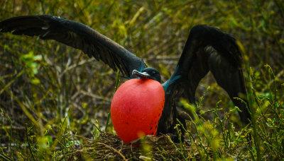 Inflation, Darwin Bay, Genovesa Island, The Galapagos, Ecuador, 2012