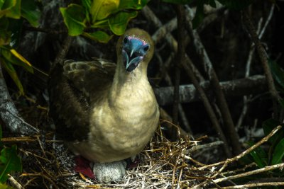 Assertive Red Footed Booby and chick, Darwin Bay, Genovesa Island, The Galapagos, Ecuador, 2012
