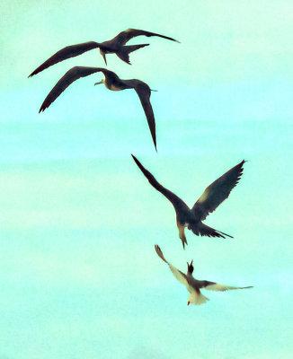 Airborne dispute, Darwin Bay, Genovesa Island, The Galapagos, Ecuador, 2012